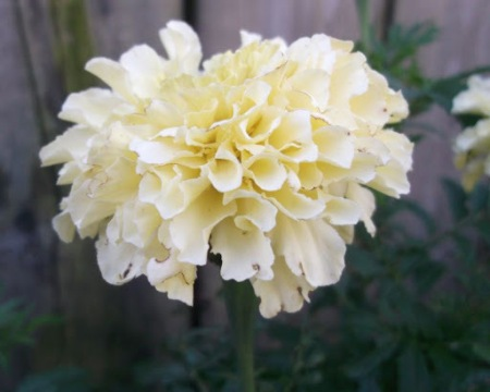This is a man-in-the-moon marigold.  It was produced in an attempt to breed a white marigold, so it's not brash & marigoldy in colour.